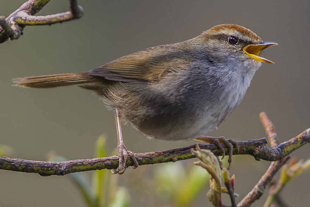 https://upload.wikimedia.org/wikipedia/commons/2/21/Grey-sided_Bush_Warbler.jpg