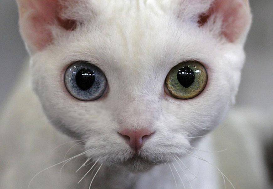Кошка породы Рэкс