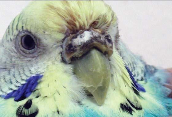 Budgerigar female with discharge from nares accumulated in frontal feathers