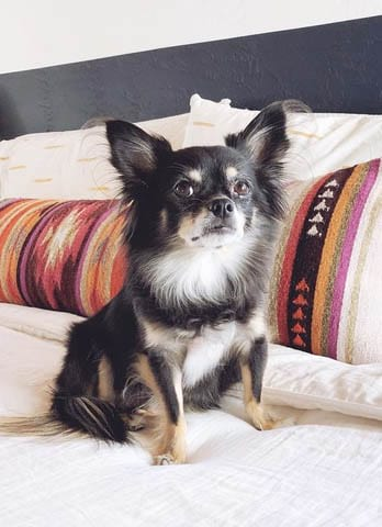 Alt-Text: Fritz the long-haired chihuahua, Door Sixteen's guest star