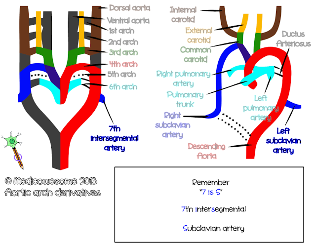 Subclavian artery - Aortic arch derivatives embryology mnemonic