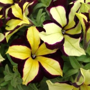 http://loghouseplants.com/plants/wp-content/uploads/2014/02/Petunia-Crazytunia-Star-Jubilee-web.jpg