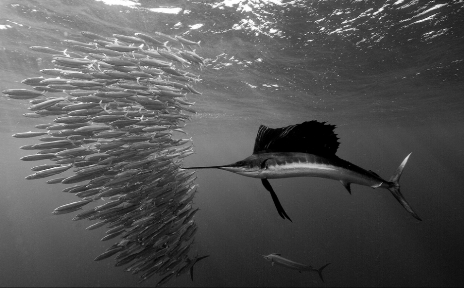 Sailfish baitball.png