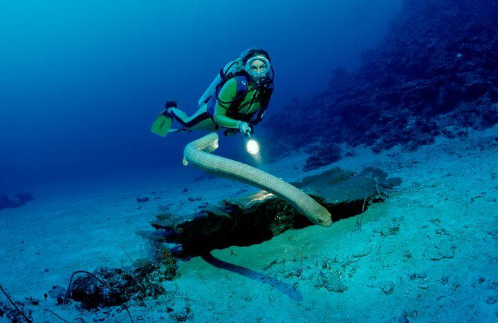 An olive sea snake and scuba diver in Australia.