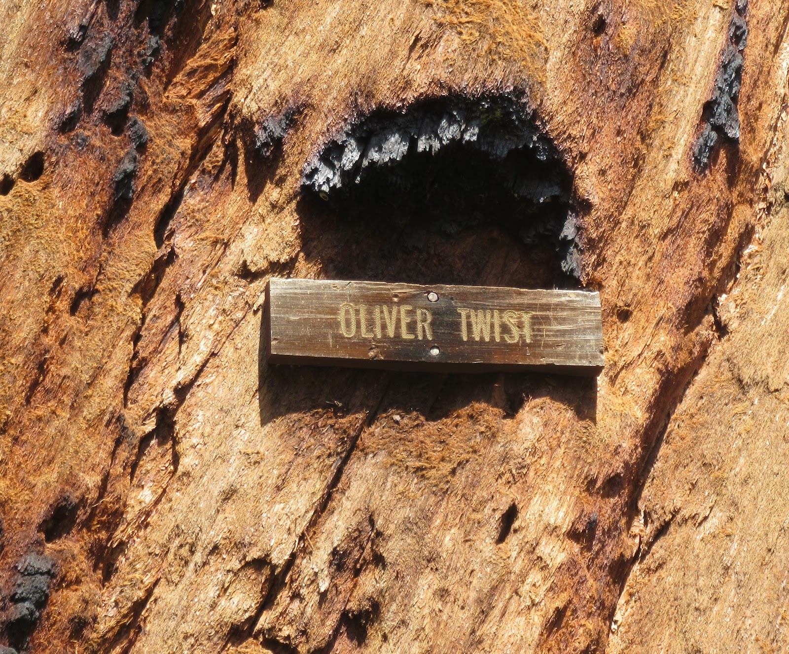 Bike climb  Bear Creek Road - Oliver Twist giant sequoia sign