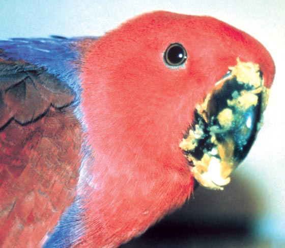 A young female eclectus enjoys a meal of squash and the novelty of new foods