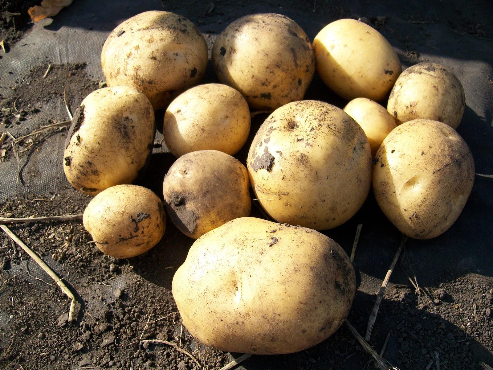Картошечкаа.JPG