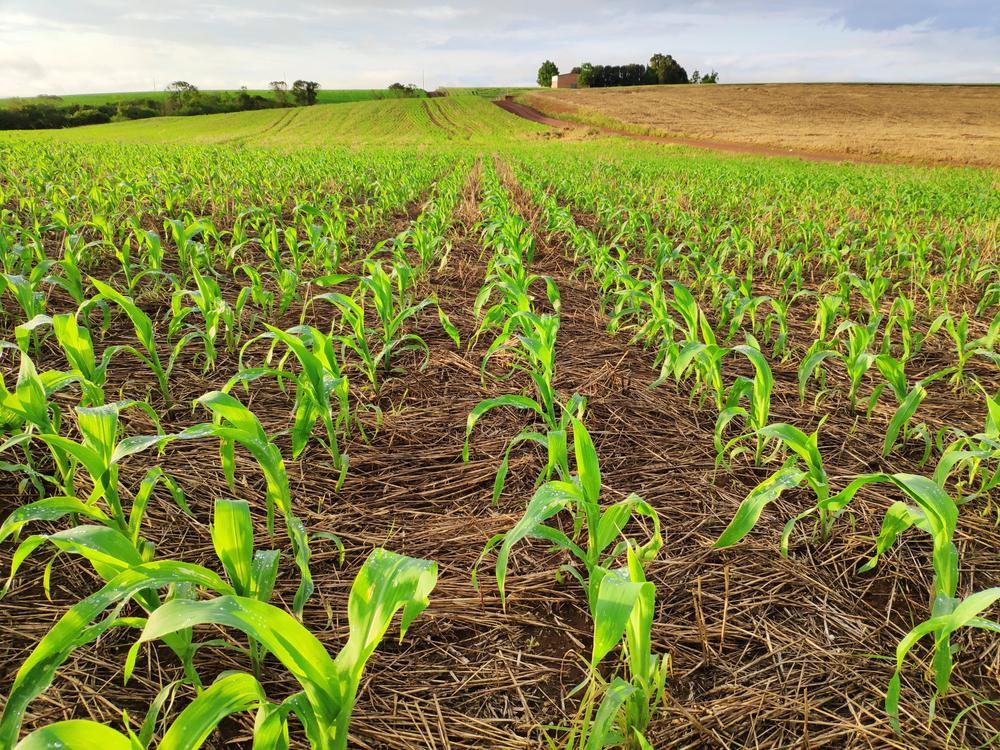 Produtos do Mato Grosso do Sul devem plantar milho até março para fugir de possíveis geadas. (Fonte: Shutterstock/Vinicius Abe/Reprodução)