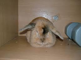 ผลการค้นหารูปภาพสำหรับ กระต่าย นั่ง นอน
