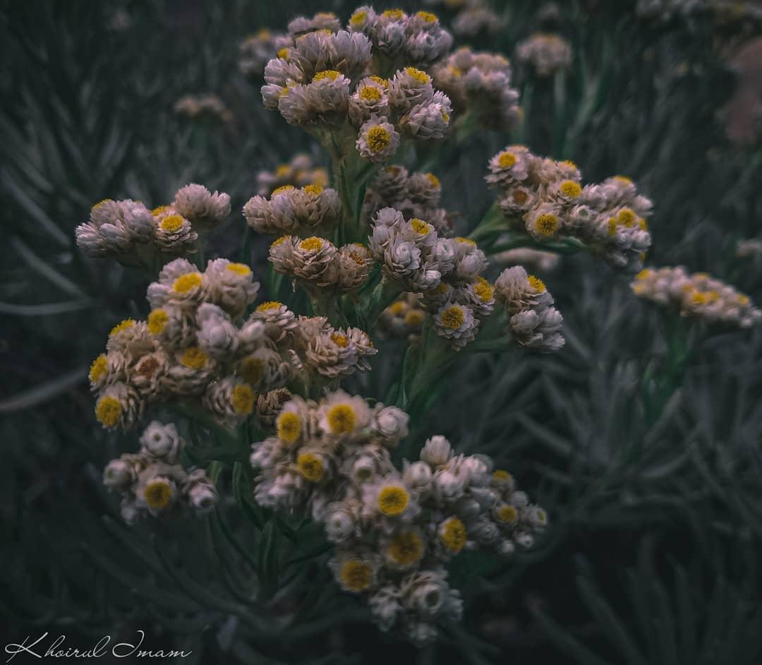 Bunga Edelweis Indahnya Bunga Abadi Yang Terancam Punah