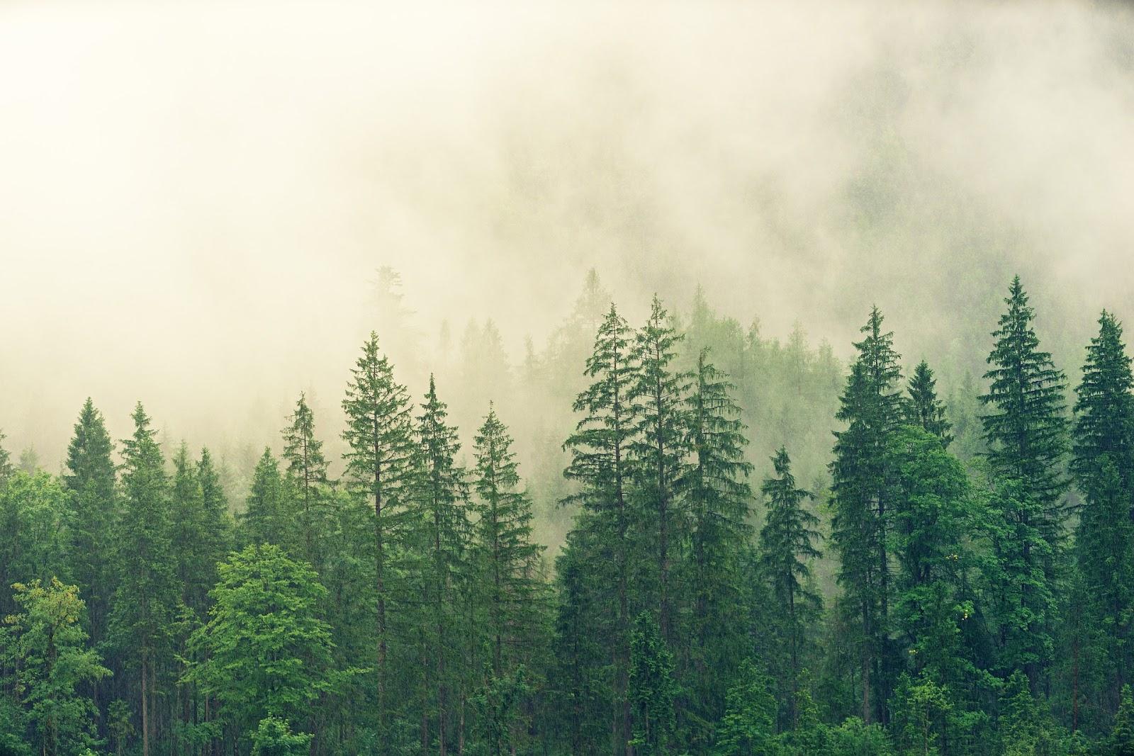 Wald mit Nebel