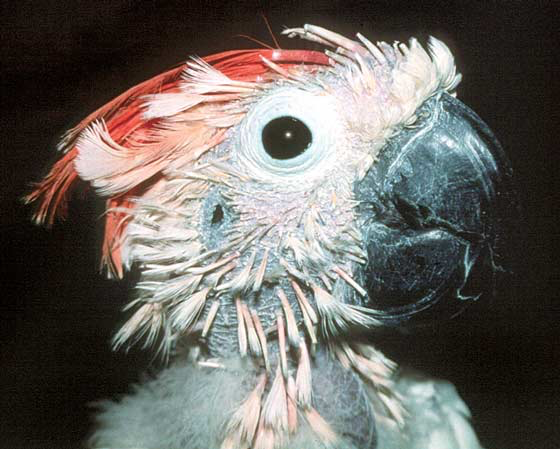 Severe feather loss and dystrophy as well as beak necrosis in a cockatoo with circovirus infection