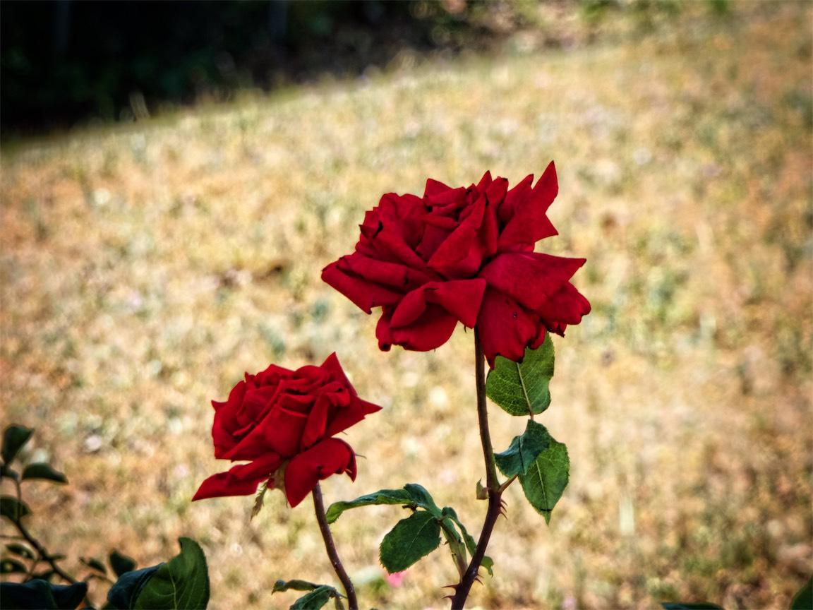 Redding Roses.jpg