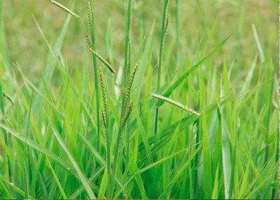 Ervas-daninhas não. Plantas indicadoras! | Ervas, Gramíneas ornamentais,  Plantas