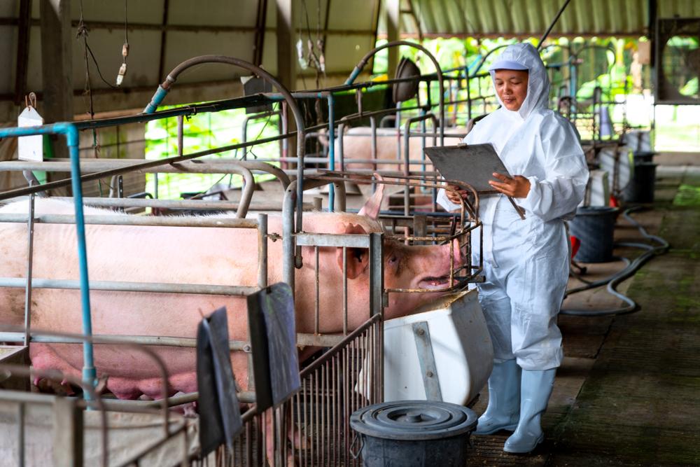 A tecnologia pode ajudar a China a aumentar a produtividade de suínos. (Fonte: Shutterstock)