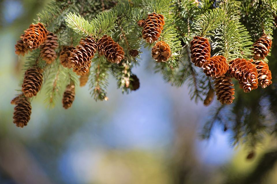 Folhas de um pinheiro com sementes amostra