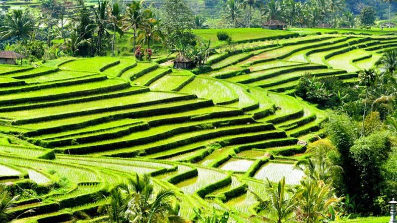 Kegiatan yang Dapat Dilakukan di Bali: Sawah Jatiluwi