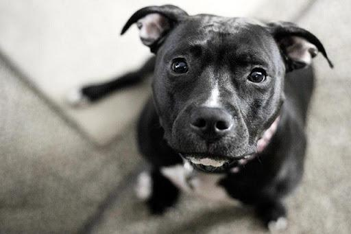 14 Signs You're A Crazy Pit Bull Person... and Damn Proud To Be!