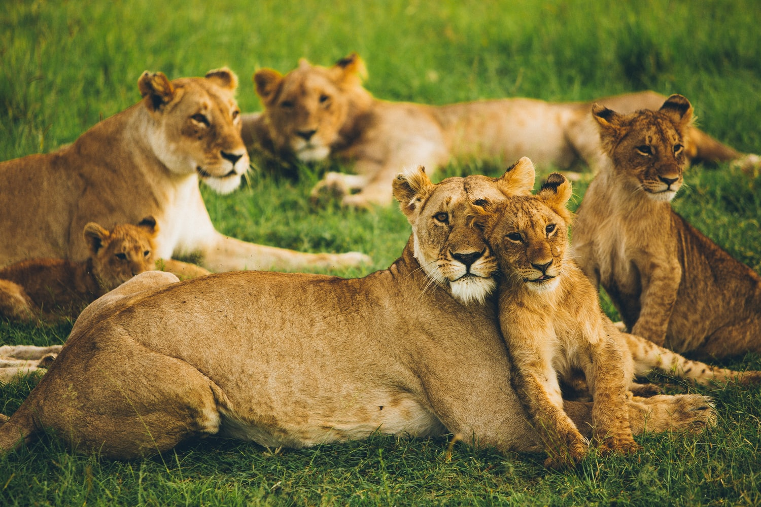 Lions in Zambia unter den Top 10 Safari Parks in Afrika