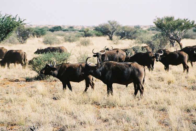 African Savana Buffaloes Syncerus caffer caffer (M. Cromhout).