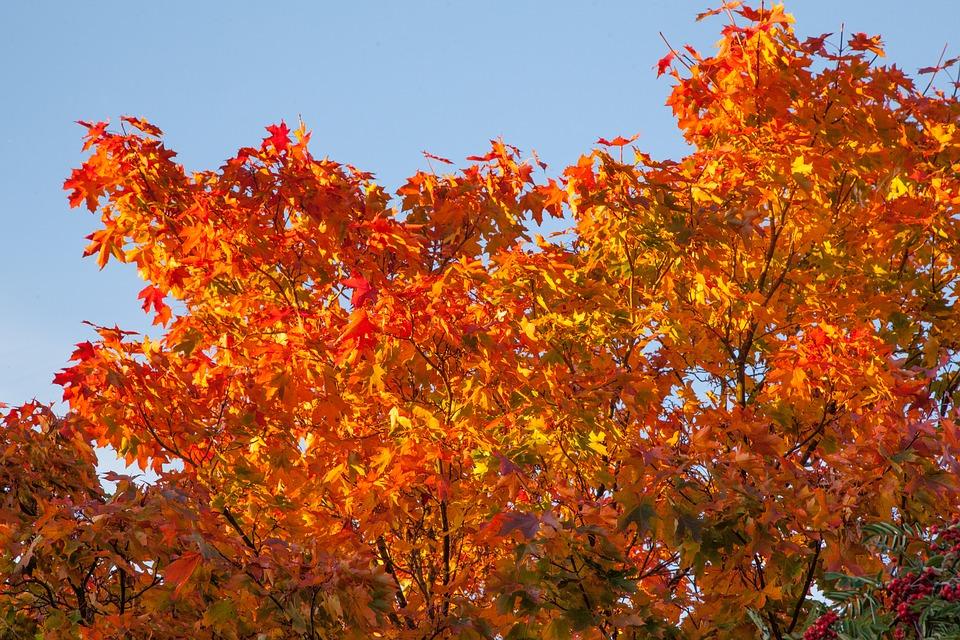 Free photo: Autumn, Orange, Leaves, Maple, Fall - Free Image on ...