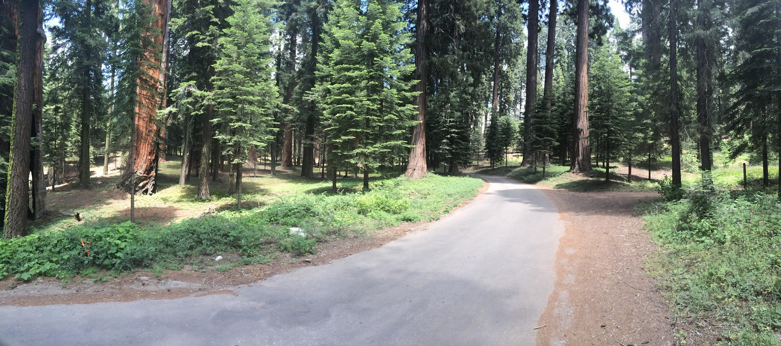 Cycling Bear Creek Road - grove of giant sequoia redwood trees