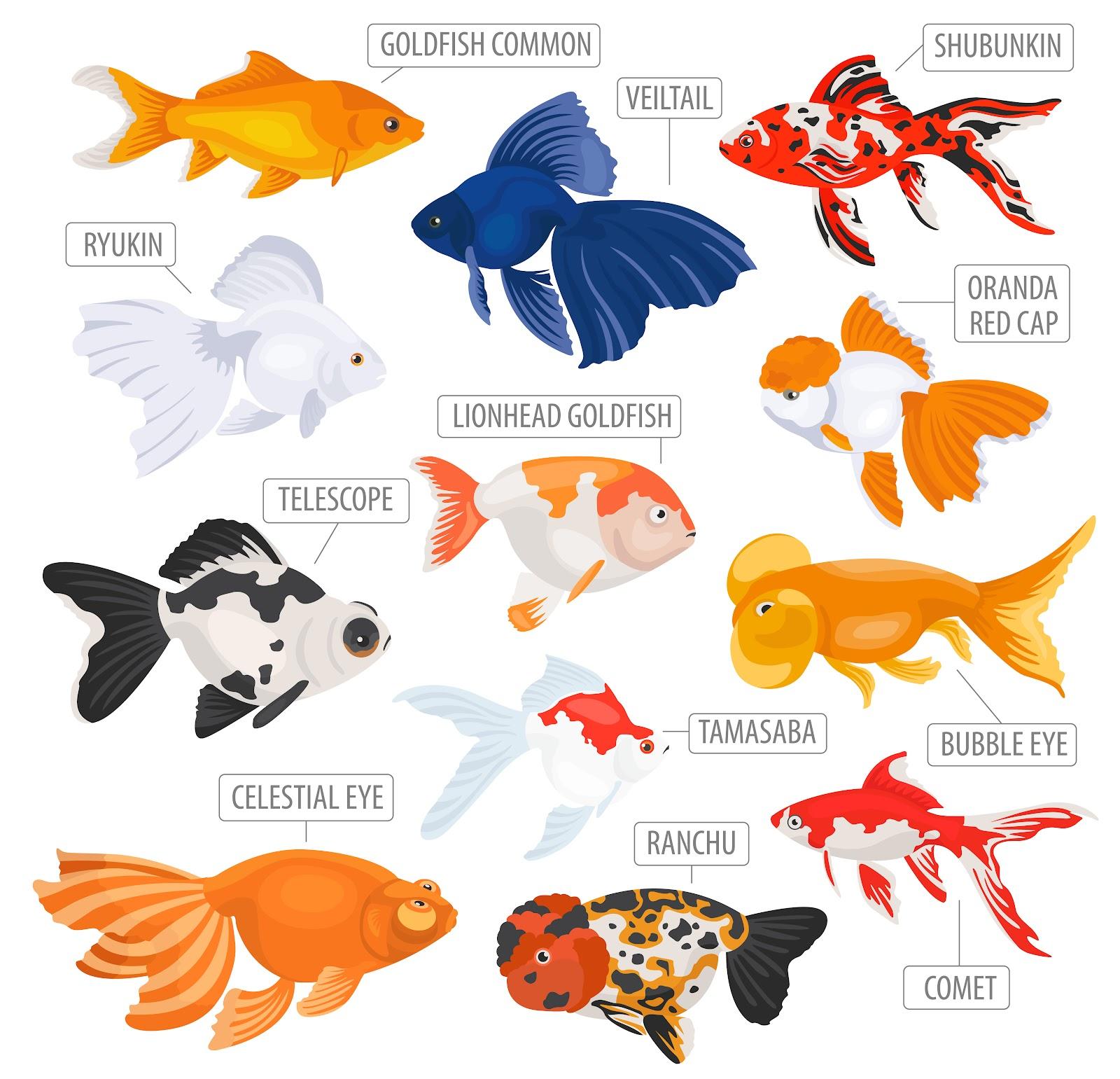 Goldfish Body Types – Fancy Goldfish – Goldfish Care ...
