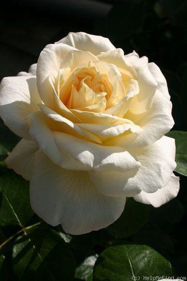 La Perla ' Rose Photo | Hybrid tea roses, Tea roses, Hybrid tea roses care