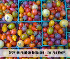 Growing rainbow tomatoes - the true story! - Snapshots and Snippets