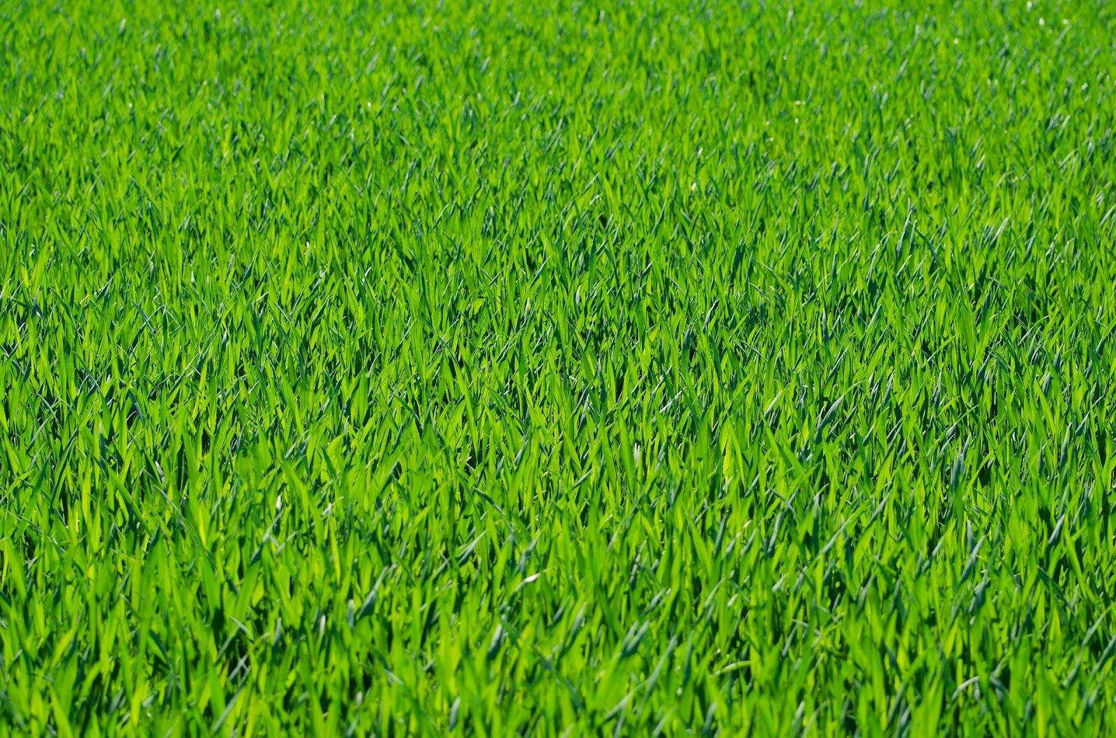 Gazon van gras