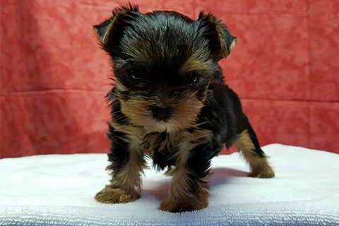 GorjessPets Yorkie Puppies | Teacup Yorkie | Yorkies For