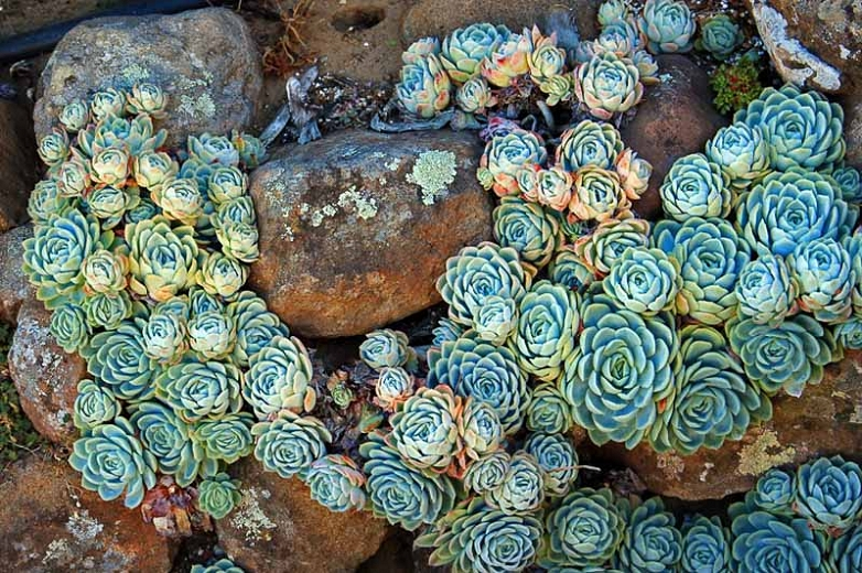 Echeveria elegans,Mexican Gem, Hen and Chicks, Mexican Ghost Plant, Mexican Snowball,  Blue echeveria, gray echeveria, Blue succulent, gray succulent