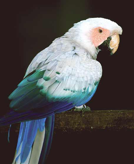 Although this white phase scarlet macaw is rare and valuable, mutations like this are often less resistant to disease