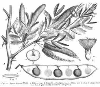 Akacja senegalska Acacia senegal