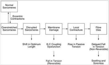 The damage process begins with overstretch of sarcomeres