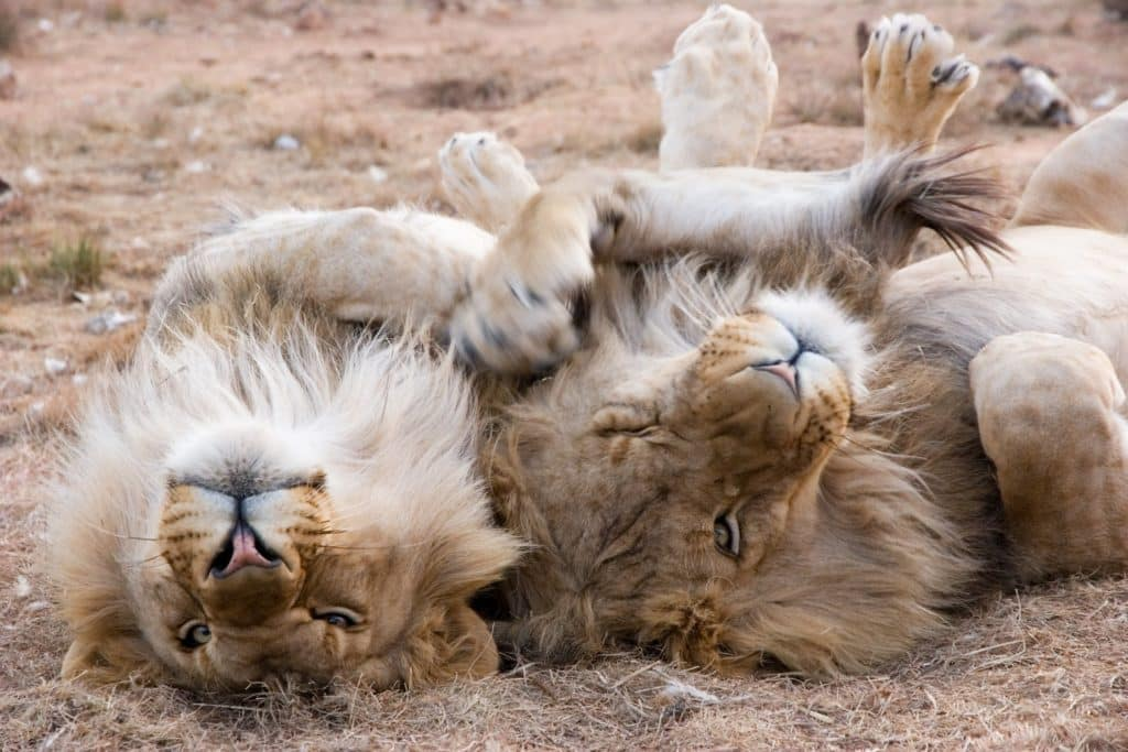 African Lions after a Lion Walk