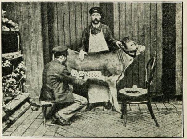 图1:从小腿中收获牛皮淋巴,以用于天花疫苗。资料来源:J. Aitchbee,什么是疫苗淋巴?基尔马诺克,苏格兰:Joseph Scott,1904,p。6.