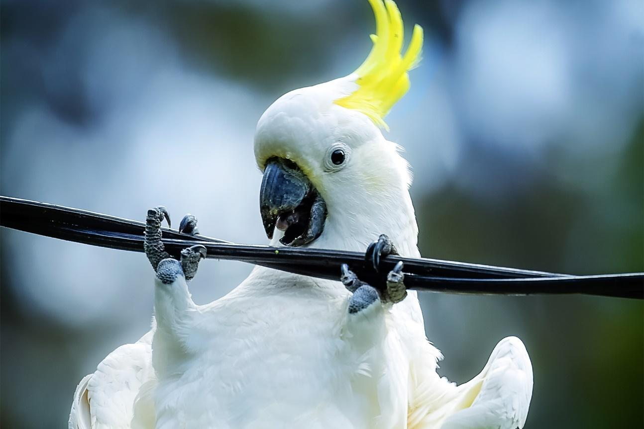 Australia has a big problem with cord-cutting cockatoos