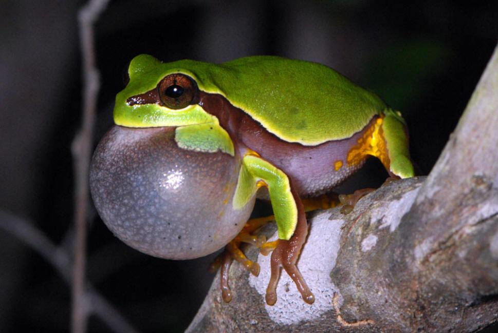 Image result for pine barrens tree frog
