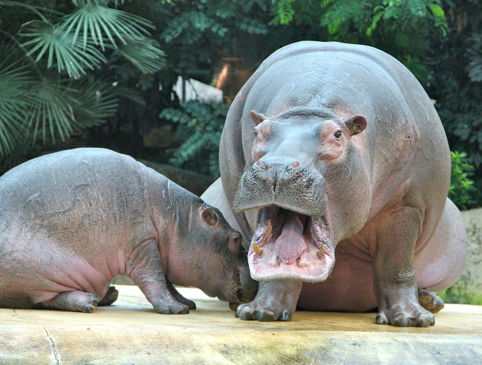 Free photo: Zoo, Animals, Hippos - Free Image on Pixabay - 24931