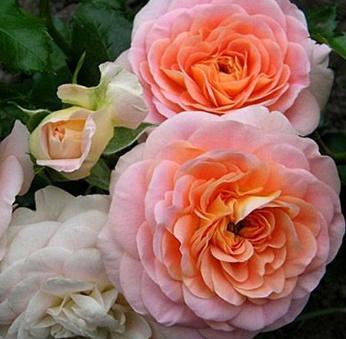Роза сорт Концерто - купить в интернет-магазине «Посади свой сажанец»