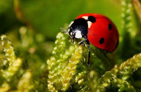 Image libre: nature, coccinelle, insecte, macro, coccinelle, arthropodes,  invertébrés