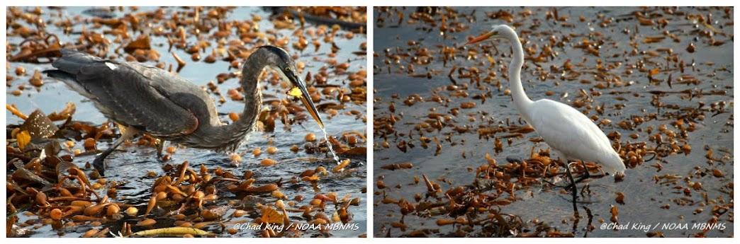 Fauna asociada a los bosques de Kelp (aves)