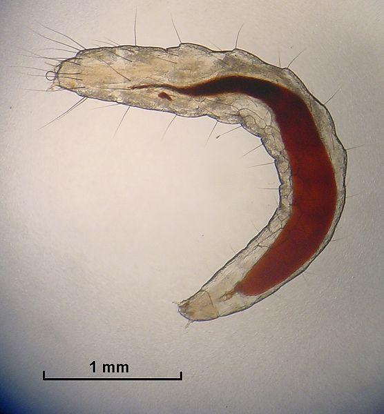 File:Flea Larva.jpg