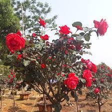 Ý nghĩa của hoa hồng cổ Trung Quốc