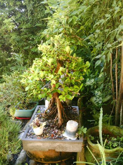 Ficus Microcarpa var. Indica... - Página 2 4gehA3LURjrrIEVoUpte_EvOOg6-VaioDnX0epxZgOE=w410-h547
