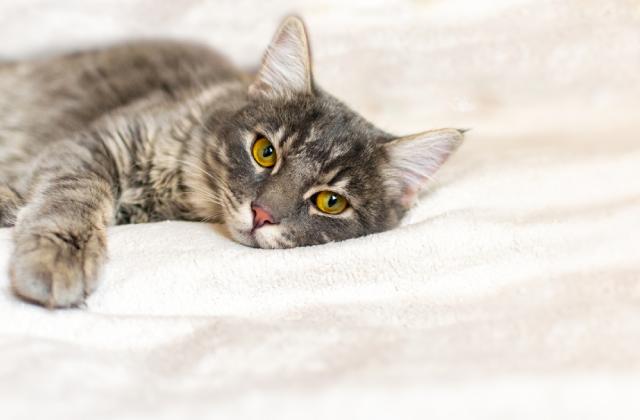 Nhận biết dấu hiệu thở gấp ở mèo