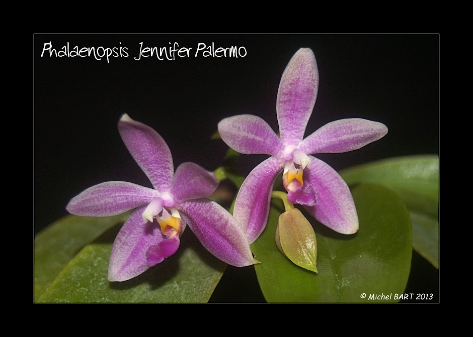 Phalaenopsis Jennifer Palermo 4mexzz-T21wX4ijljMzT6VRiwhYSb0I6JjqIia_7grU=w940-h671-no