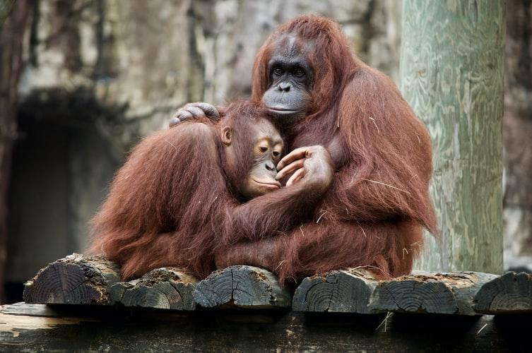 Why save orangutans?