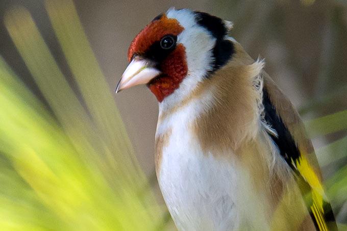 Wegen seiner Farbenpracht und Sangeskunst war der Stieglitz lange Zeit ein beliebter Käfigvogel - Foto: NABU/Ronald Schulz